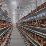 Automation and Quality: An Interview with Ontario Pride Eggs