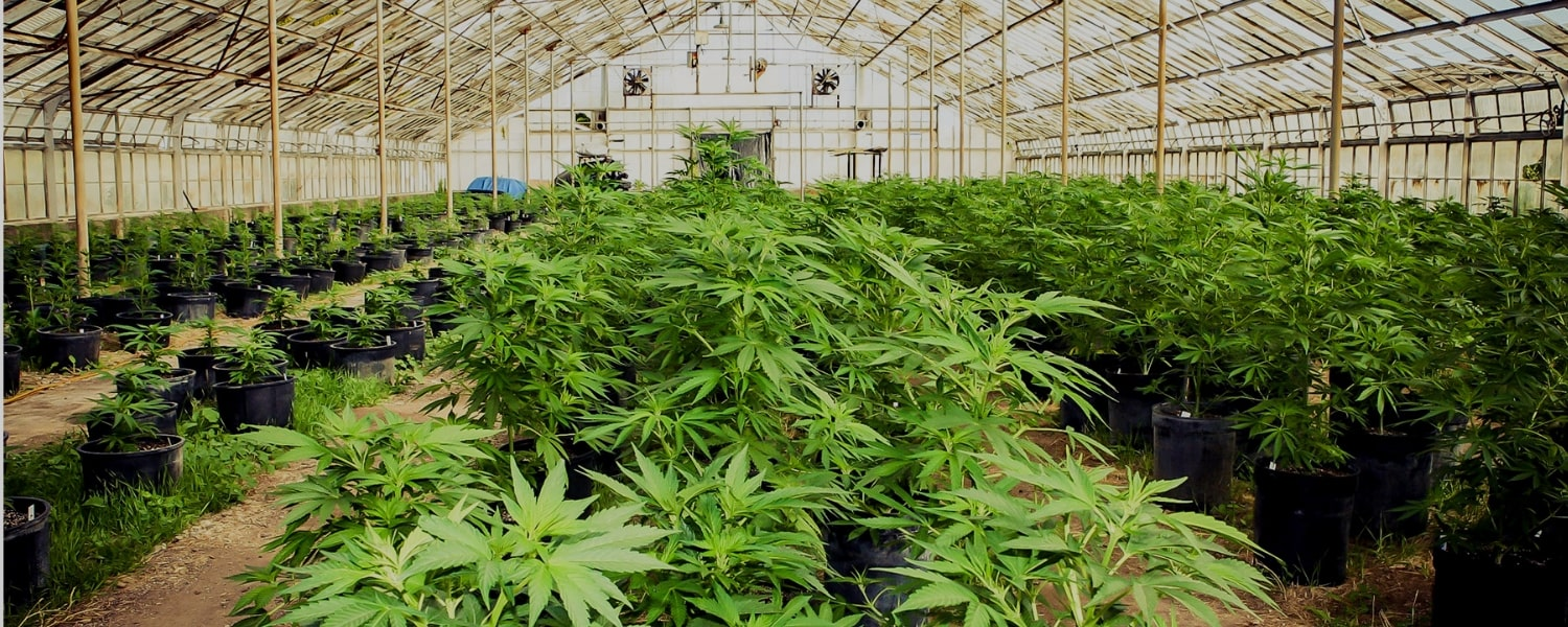 How Icicle Helps Cannabis Producers With Traceability From Seed To Wholesale